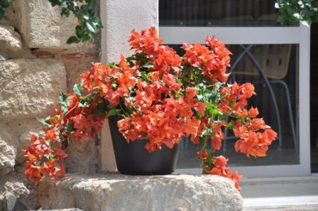 Bougainvillier 39 flame 39 nouveau roi des balcons prim au for Culture du bougainvillier en pot