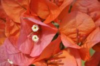 Variété de Bougainvillier San Diego Orange Photo tijardin.com