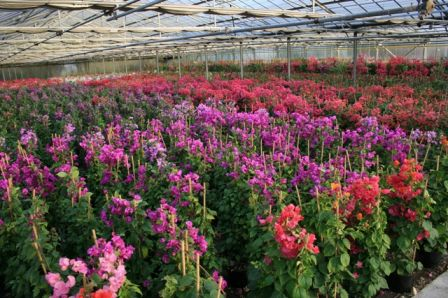 production de bougainvilliers ets horticoles du cannebeth